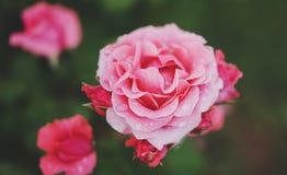Steg den rosa knoppen för makroen av på en grön bakgrundscloseup med regndroppar av vatten, härliga romantikerblommor för kortren royaltyfria foton