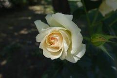 Steg den vita blomman för elfenben av i Juni royaltyfri bild