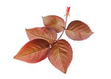 Steg det röda bladet för blomman Arkivbild