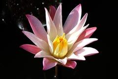 Steg färg Lotus royaltyfri bild