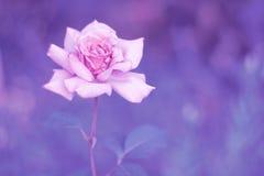 Steg försiktig toninglilabakgrund blomman steg Royaltyfri Fotografi