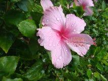 Steg gullig rosa sötvatten, när det regnar Fotografering för Bildbyråer