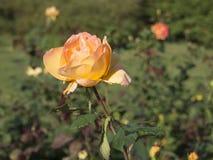 Steg i blom i en trädgård Royaltyfri Foto