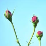 Steg knoppblommor Royaltyfria Bilder