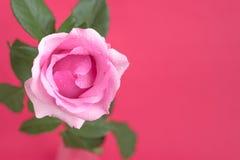 Steg med vattendroppar på rosa bakgrund Royaltyfria Bilder