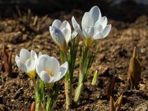 Steg och blomstrade de första vårvitkrokusarna Royaltyfri Fotografi