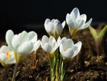 Steg och blomstrade de första vårvitkrokusarna Fotografering för Bildbyråer