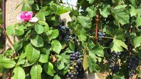 Steg och busken av vinrankadruvan med grupper av svarta bär stock video