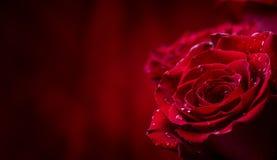Steg röda ro Bukett av röda ro Flera rosor på granitbakgrund Valentindag, bakgrund för bröllopdag Arkivfoto