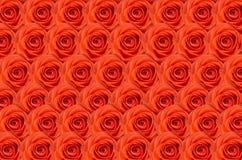 Steg Röda rosor för bakgrund Många rosor som en blom- bakgrund Royaltyfria Foton