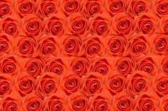 Steg Röda rosor för bakgrund Många rosor som en blom- bakgrund Royaltyfri Foto