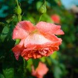 steg rosa regn för droppar Arkivfoton