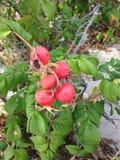 Steg & x28; Rosa& x29; Växt Bush med Rose Hips Growing i sanddyn Royaltyfri Fotografi