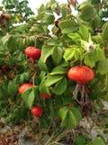 Steg & x28; Rosa& x29; Växt Bush med Rose Hips Growing i sanddyn Royaltyfria Bilder