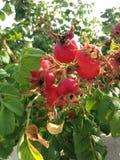 Steg & x28; Rosa& x29; Växt Bush med Rose Hips Growing i sanddyn Royaltyfri Bild