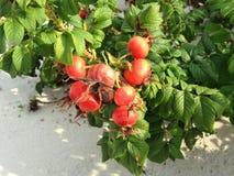 Steg & x28; Rosa& x29; Växt Bush med Rose Hips Growing i sanddyn Fotografering för Bildbyråer