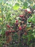 Steg & x28; Rosa& x29; Växt Bush med Rose Hips Growing i sanddyn Royaltyfria Foton