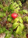 Steg & x28; Rosa& x29; Växt Bush med Rose Hips Growing i sanddyn Arkivbilder