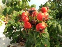 Steg & x28; Rosa& x29; Växt Bush med Rose Hips Growing i sanddyn Arkivfoton