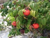 Steg & x28; Rosa& x29; Växt Bush med Rose Hips Growing i sanddyn Royaltyfri Foto