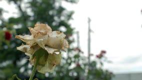 Steg rutten vissnad trädgårdvit för Closeup en reeling i vinden D?da blommor 4K video 4K stock video