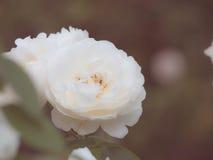 Steg steg blomman i trädgården som gjordes med tappningfiltret, under sunli Royaltyfri Fotografi