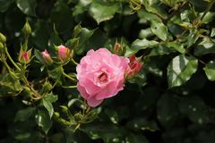 Steg typ namngav Maxi Vita i närbild som isolerades från en rosarium i Boskoop Nederländerna Royaltyfri Bild