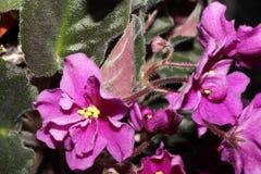 Steg violeten Royaltyfri Bild