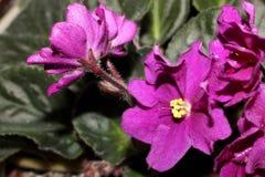 Steg violeten Fotografering för Bildbyråer