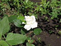 steg white Royaltyfria Bilder