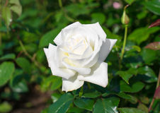 steg white Royaltyfria Foton