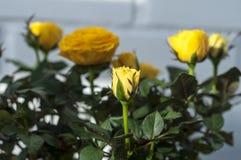 steg yellow Hem- gul ros på den soliga dagen royaltyfri foto