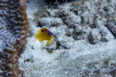 Juvenile damselfish defending its territory. Stegastes diencaeus, is a damselfish from the Western Atlantic. It occasionally makes its way into the aquarium Royalty Free Stock Photos