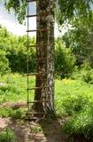 Stege på ett björkträd royaltyfri bild