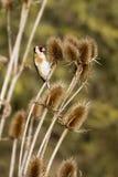 Steglits (Carduelis-carduelis) royaltyfria bilder