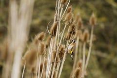 Steglits (Carduelis-carduelis) royaltyfri foto