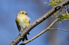 Steglits med den lösa fjädern som sätta sig i ett träd Arkivfoton