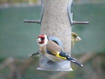 Steglits och Greenfinch Royaltyfri Bild