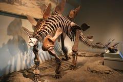 stegosaurus lizenzfreie stockfotografie