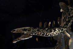 Stegosaurus Royalty Free Stock Images