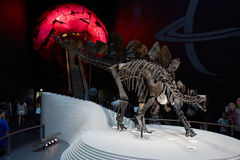 Stegosaurus, dinosaur skeleton in Natural History Museum in London Royalty Free Stock Photo