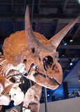 Stegosaurus fossil. Stegosaurus, a genus of armored dinosaur with bony plates and a head shield, that lived during the Late Jurassic period Royalty Free Stock Image