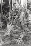 Stegosaurus skeleton. Chinese Huayangosaurus taibaii (Middle Jurassic, Dashanpu, Zigong, Sichuan ) on display Royalty Free Stock Images