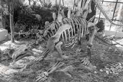 Stegosaurus skeleton Royalty Free Stock Images