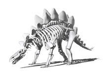 Stegosaurus Skeleton Drawing Stock Images