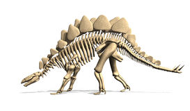 Stegosaurus Skeleton from Side Royalty Free Stock Images