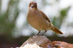 Stehend Vogel auf den Steinen Stockfotos