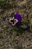 Stehende allein purpurrote Stiefmütterchenblume stockbilder