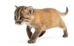Stehende Asiatische Goldkatze, Pardofelis-temminckii, 4 Wochen alt lizenzfreies stockfoto