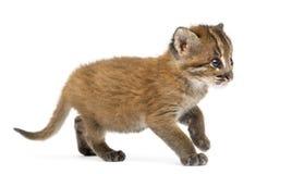 Stehende Asiatische Goldkatze, Pardofelis-temminckii, 4 Wochen alt lizenzfreie stockbilder